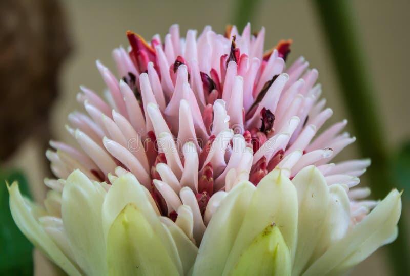 Torch o gengibre, zingiberaceae da família das flores do elatior de Etlingera (e imagem de stock royalty free