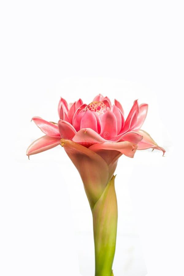 Torche Ginger Flower image libre de droits