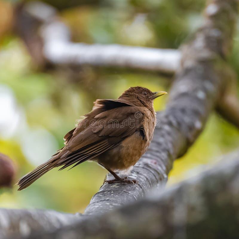 tordo Arcilla-coloreado, pájaro fotos de archivo libres de regalías
