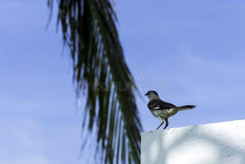 Tordo dos remedos/polyglottos do norte do Mimus - Varadero, Cuba fotos de stock royalty free