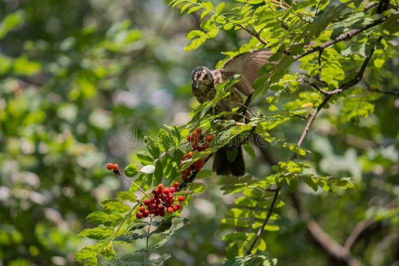 Tordo pisco que alimenta no berrie da árvore de Rowan fotos de stock royalty free