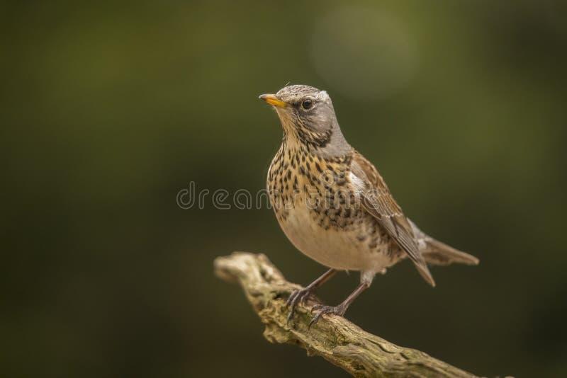 Tordo-zorzal, pilaris do Turdus Pássaro emigrante imagem de stock