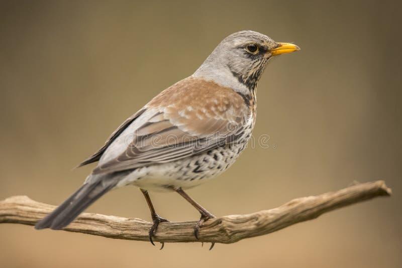 Tordo-zorzal, pilaris do Turdus Pássaro emigrante imagem de stock royalty free