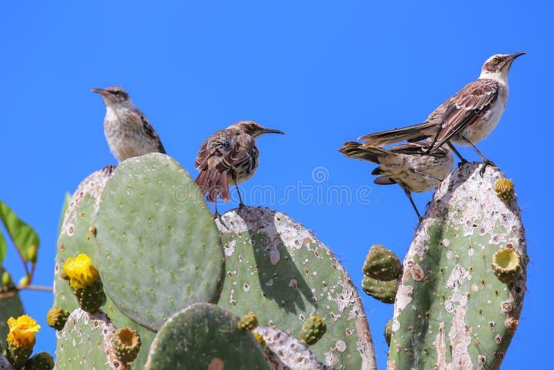 Tordos dos remedos de Galápagos que sentam-se em um cacto, ilha de Genovesa, galão foto de stock