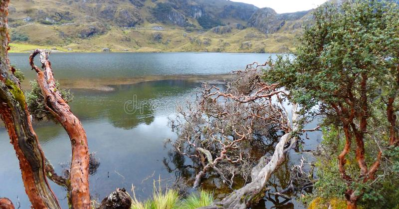 Cajas National Park, Toreadora lake, fallen paper trees stock photos