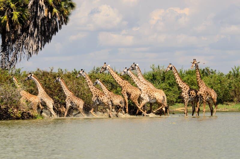 Toren die van Giraffen van een waargenomen bedreiging in het water teruggaan royalty-vrije stock fotografie