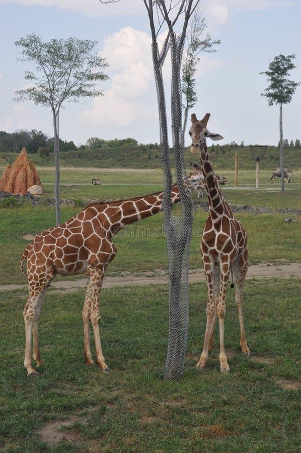 Toren twee van Giraf arround boom de Dierentuin van Columbus, Ohio stock afbeeldingen