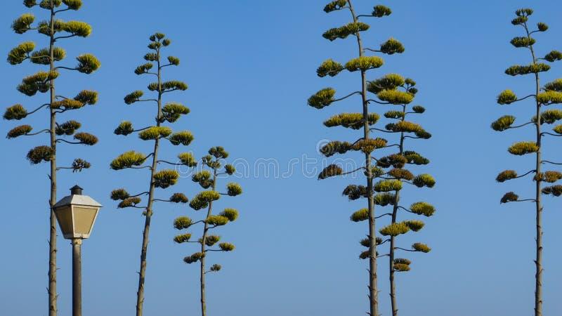Torenhoge agavebloei in een stadspark stock foto's
