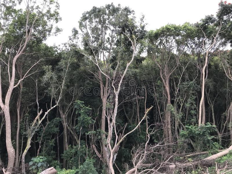 Torenhoge bomen stock fotografie