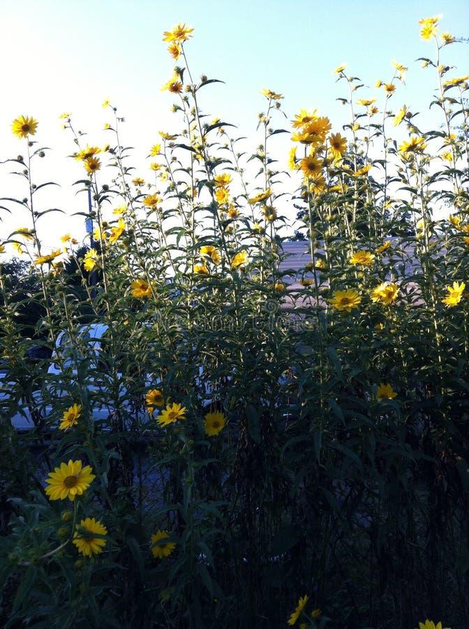 Torenhoge Gele Bloemen royalty-vrije stock afbeelding