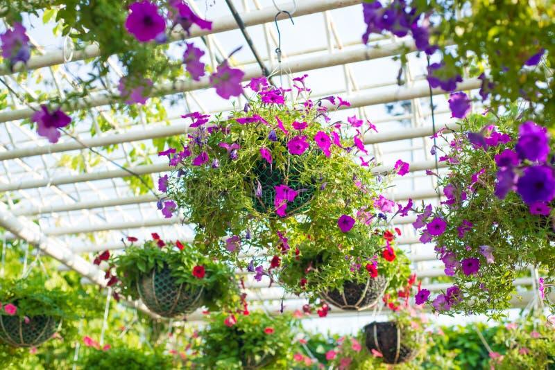 Torenia fournieri. Colorful wishbone flower royalty free stock photos
