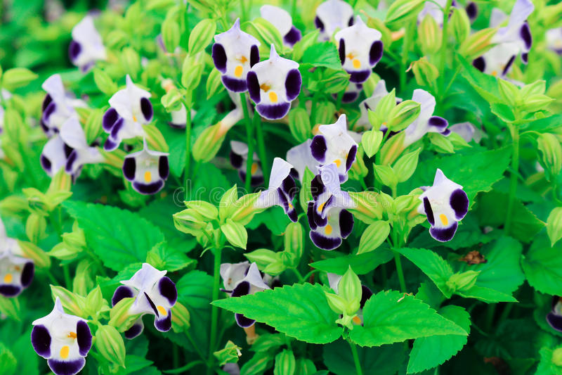 Torenia fournieri Lindl eller gaffelbenblomma som blommar i fältplommoner royaltyfria foton