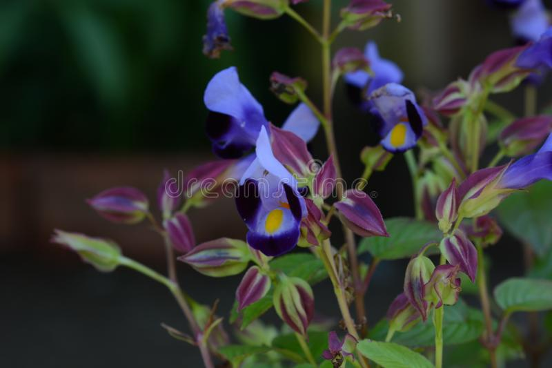 Torenia. / Wishbone flower / Blue wings stock photos