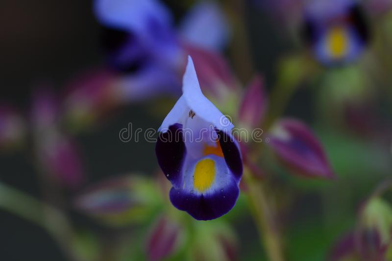 Torenia. / Wishbone flower / Blue wings royalty free stock photo