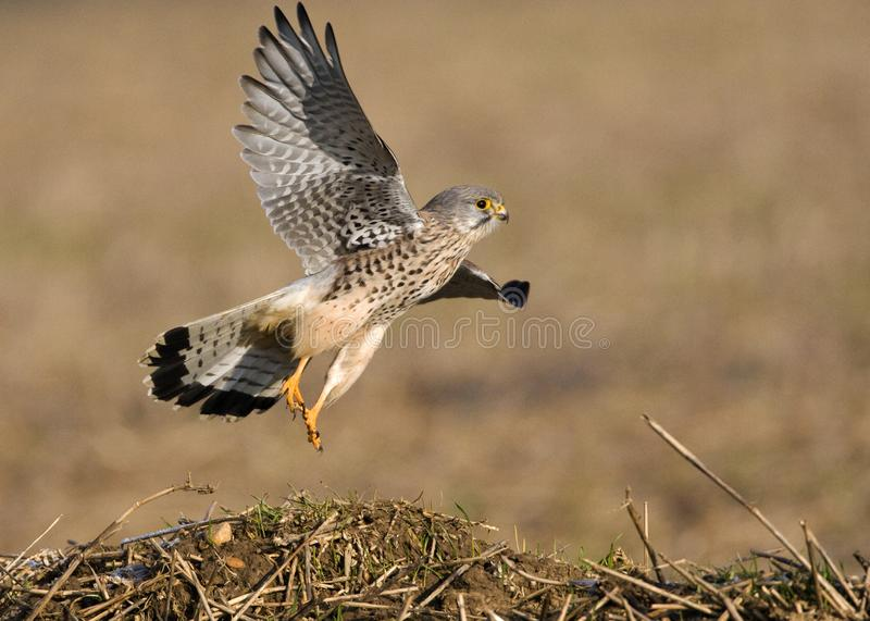 Torenvalk, Common Kestrel, Falco tinnunculus. Man Torenvalk opvliegend; Male Common Kestrel flying away royalty free stock photo