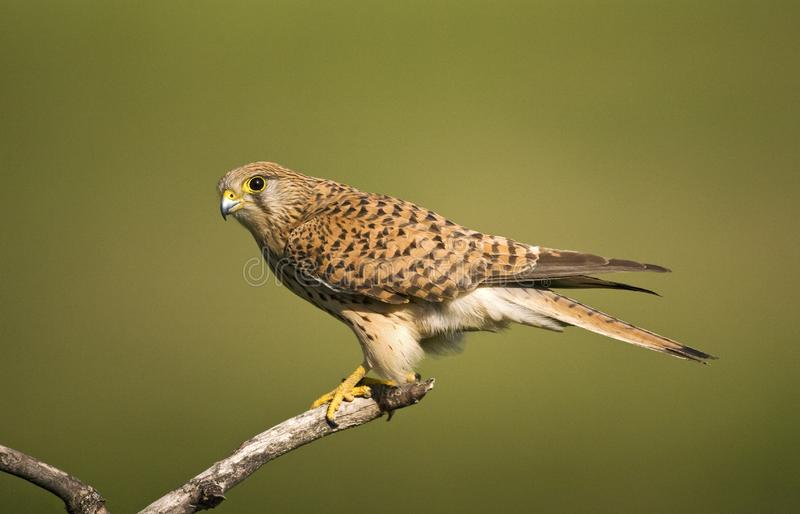 Torenvalk, Common Kestrel, Falco tinnunculus. Vrouwtje Torenvalk op een tak; Female Common Kestrel perched on a branch stock photos