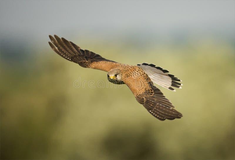 Torenvalk, francelho comum, tinnunculus de Falco imagens de stock