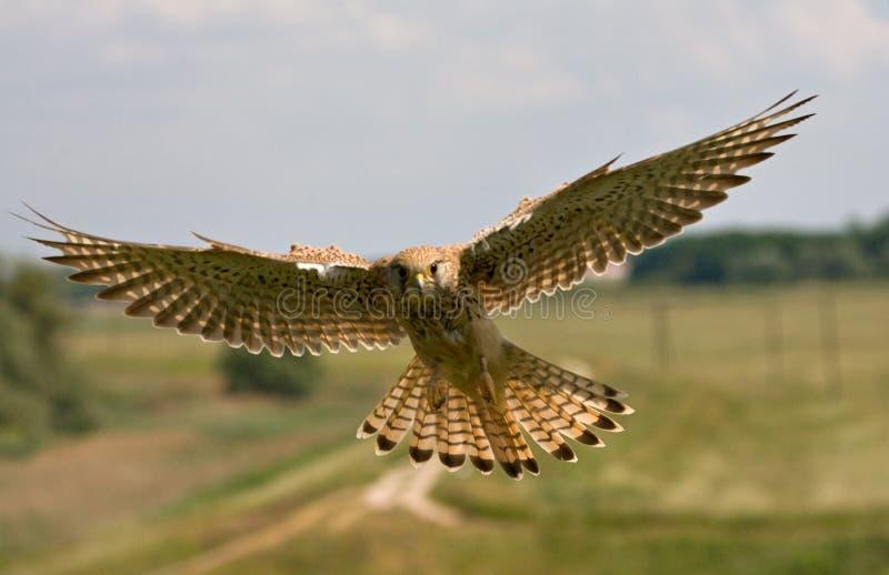 Torenvalk, gemeiner Turmfalke, Falco-tinnunculus stockbilder