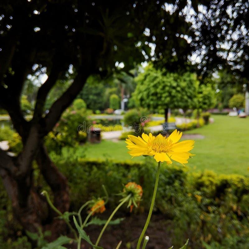 Toreopsis大花的花 库存图片