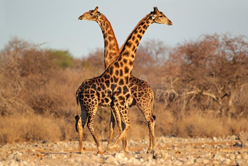 Tori della giraffa fotografia stock libera da diritti