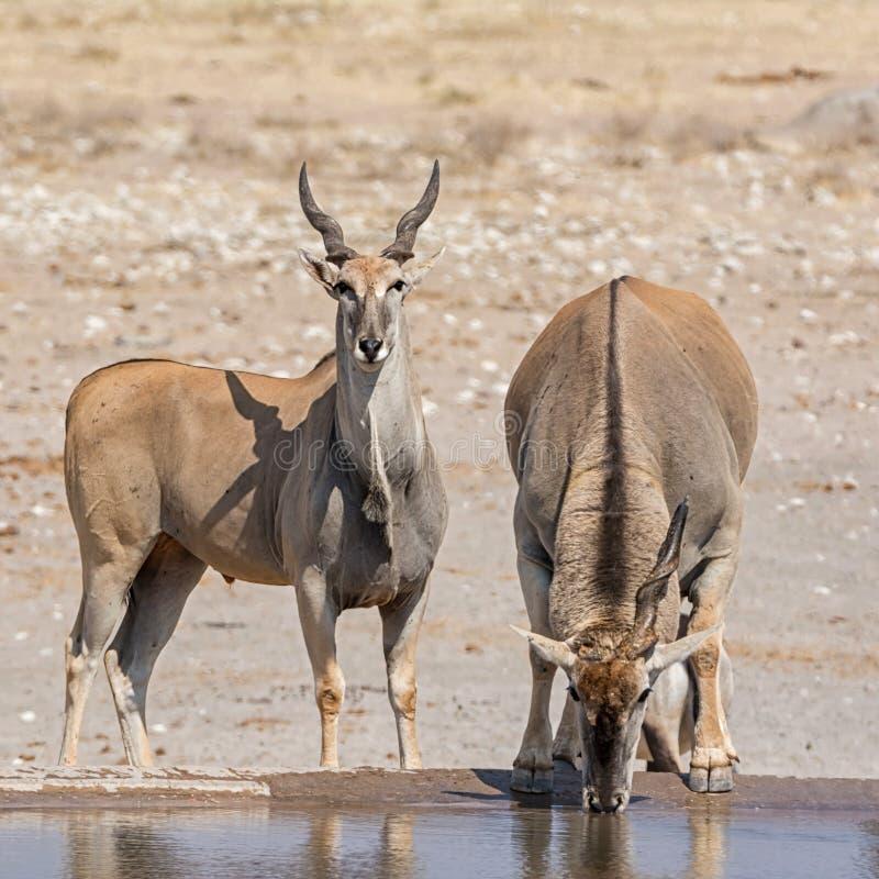 Tori di eland fotografie stock libere da diritti