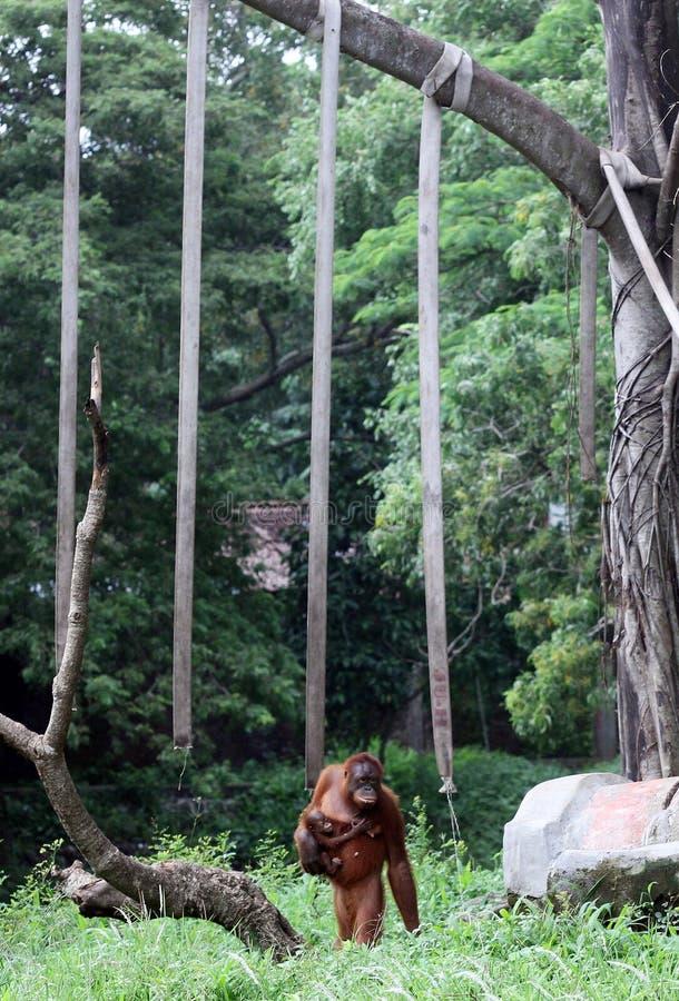 Tori, eine Orang-Utan Sammlung Taru Jurug Animal Park Solo lizenzfreie stockfotos