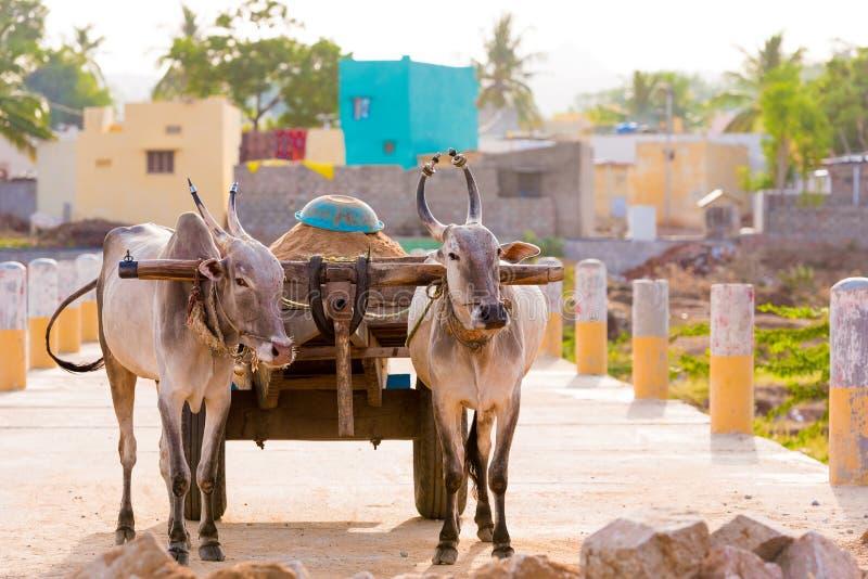 Tori indiani in cablaggio, Puttaparthi, Andhra Pradesh, India Copi lo spazio per testo fotografie stock libere da diritti