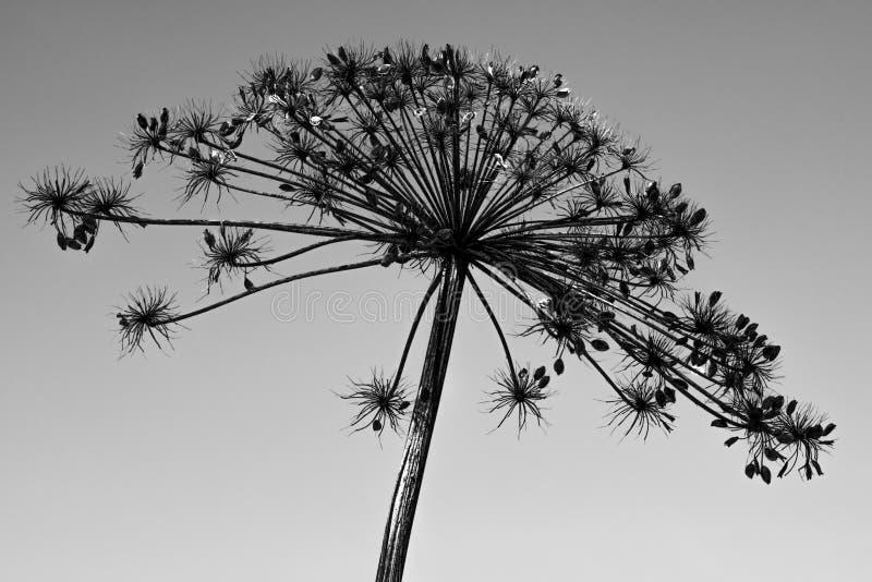 Torka blomman Hogweed royaltyfria foton