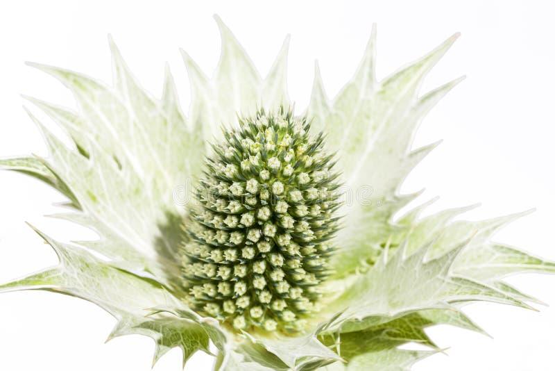Torka den gröna carduusen som isoleras på vit bakgrund royaltyfri foto