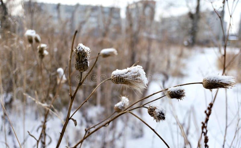 Torka frö av tisteln som täckas med frost i sen höst royaltyfri foto