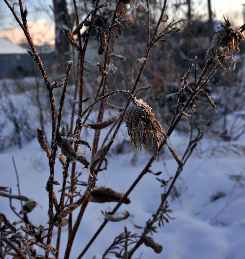 Torka frö av tistlar på snöbakgrund i otta arkivfoton