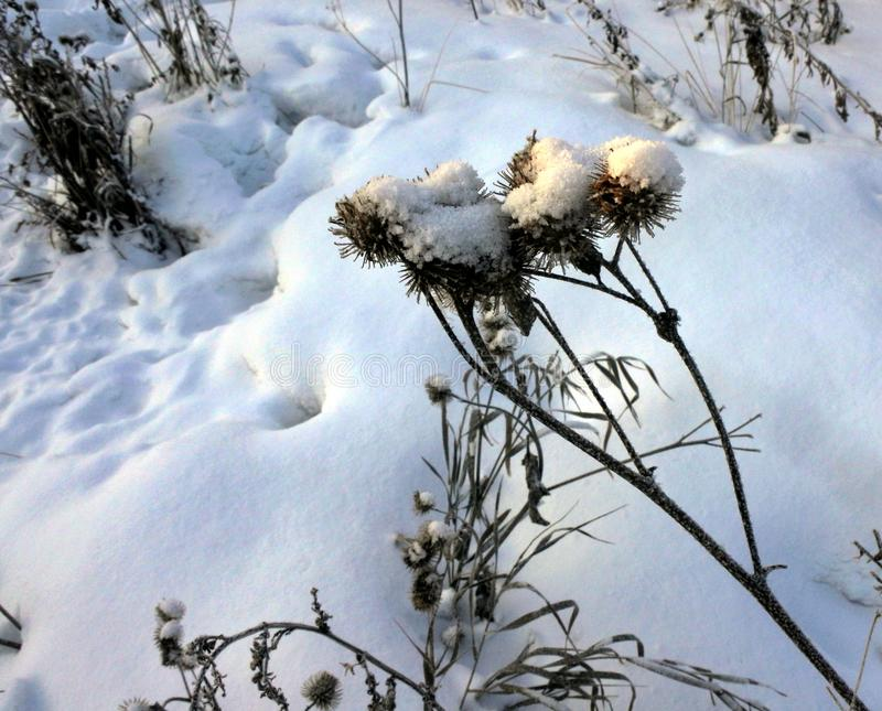 Torka frö av tistlar på snöbakgrund i ottasolljus royaltyfri foto
