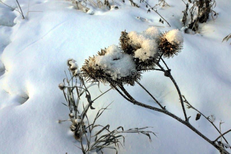Torka frö av tistlar som täckas med snö fotografering för bildbyråer