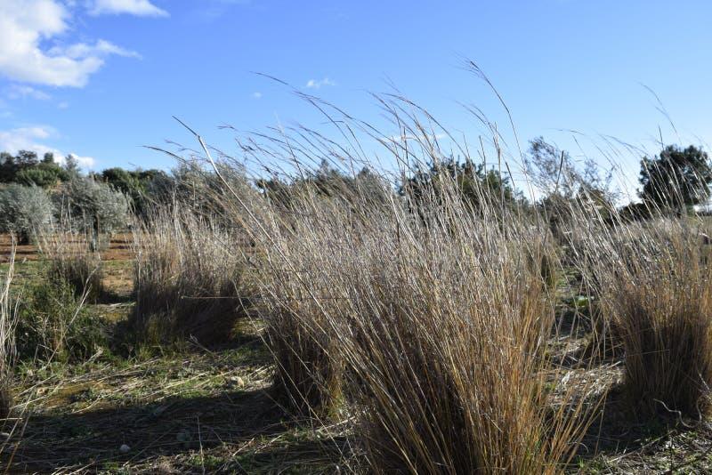 torka gräs field wind royaltyfri bild