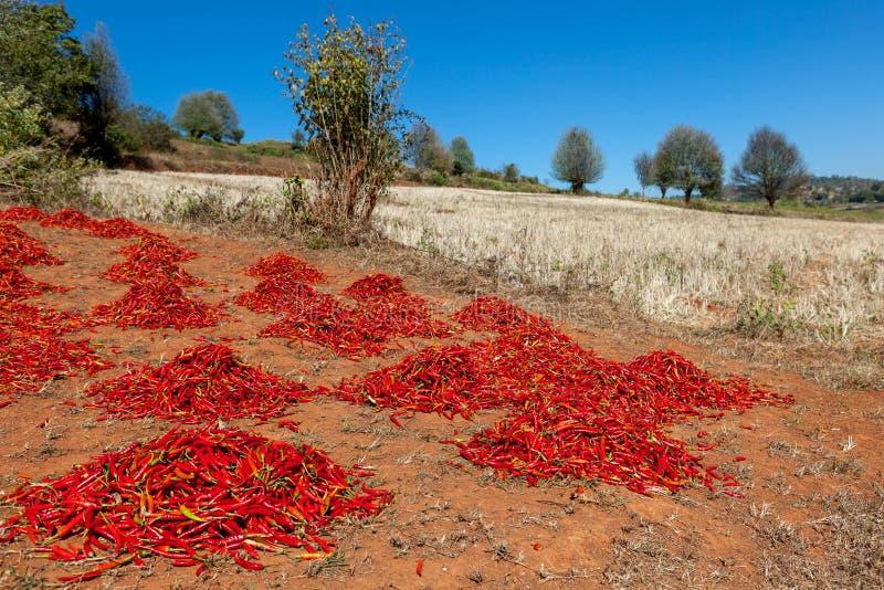 Torka grupperingar av den röda chili på fältet in fotografering för bildbyråer