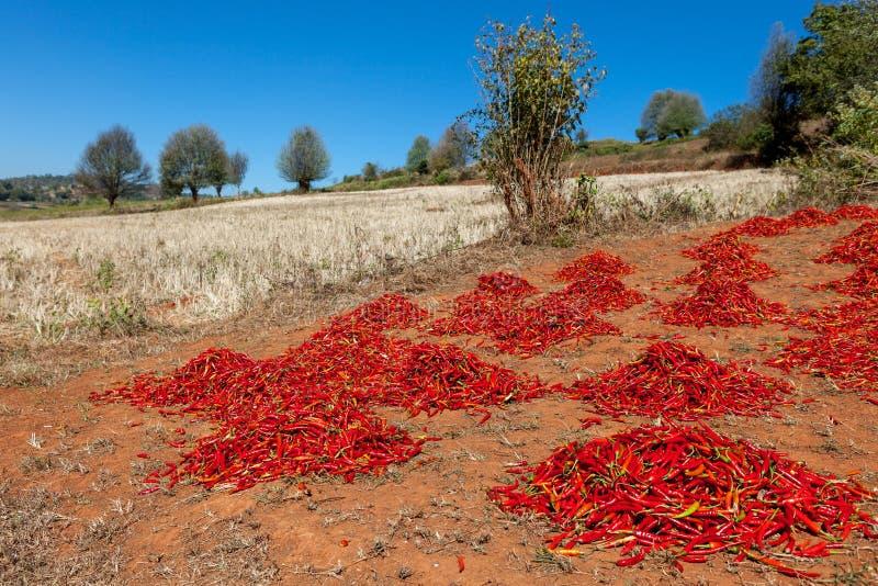 Torka grupperingar av den röda chili på fältet i myanmar royaltyfria bilder