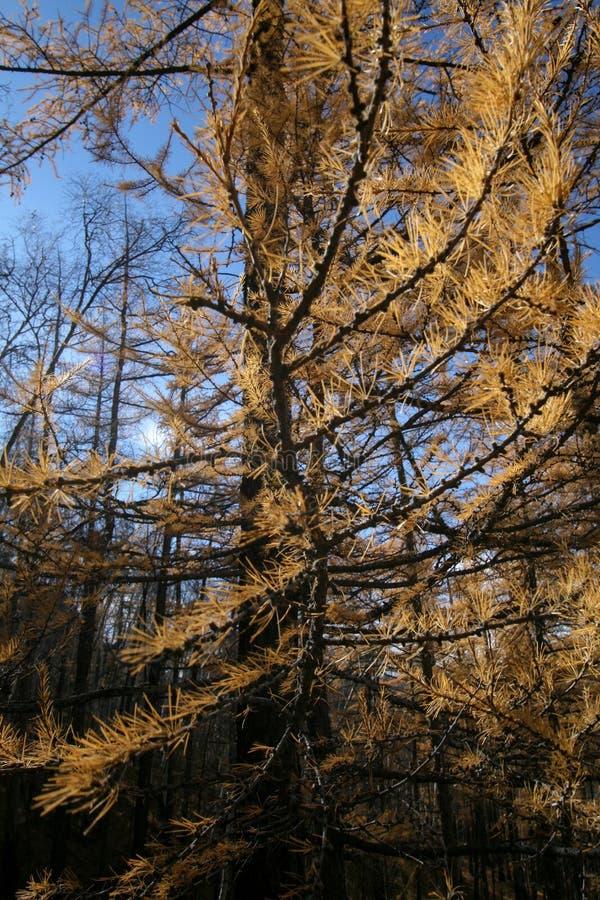 Torka gula träd i nationalparken, Mongoliet arkivbild