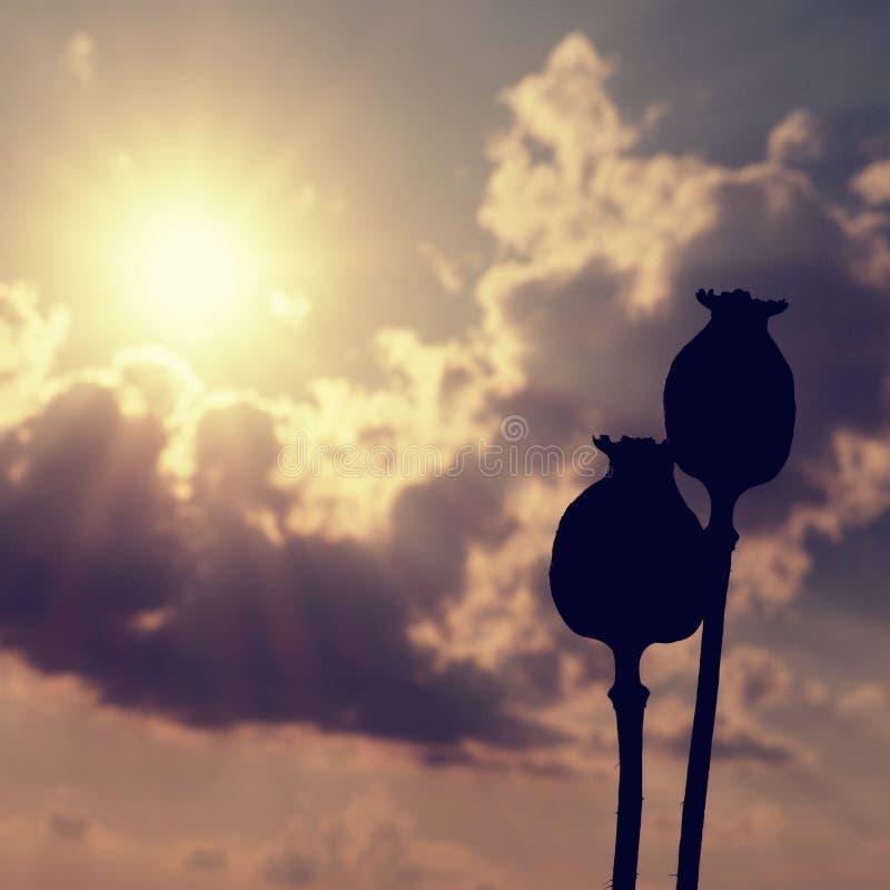 Torka länge stjälk av vallmofrö Aftonfältet av vallmo heads med solen på horisonten royaltyfri fotografi