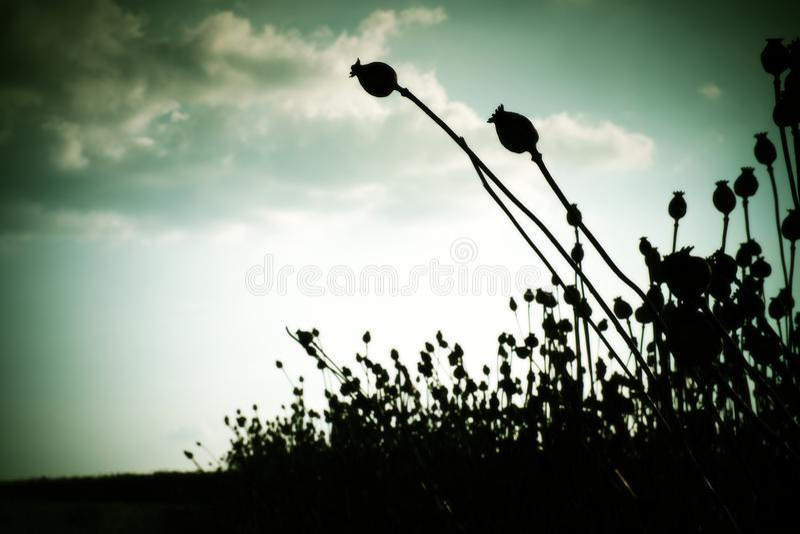 Torka länge stjälk av vallmofrö Aftonfältet av vallmo heads med solen på horisonten arkivfoto