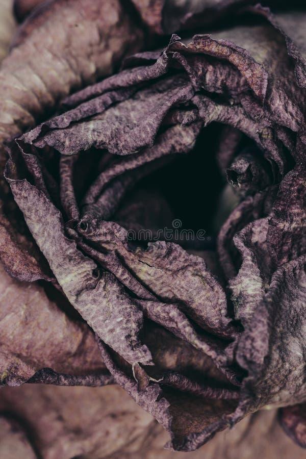 torka rose royaltyfria foton