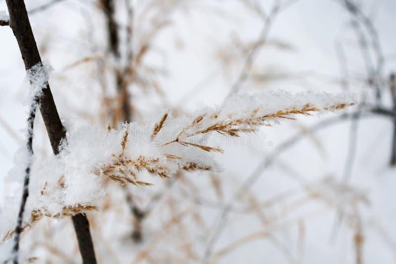 Torka växten som täckas med den insnöade vinterskogen royaltyfri fotografi