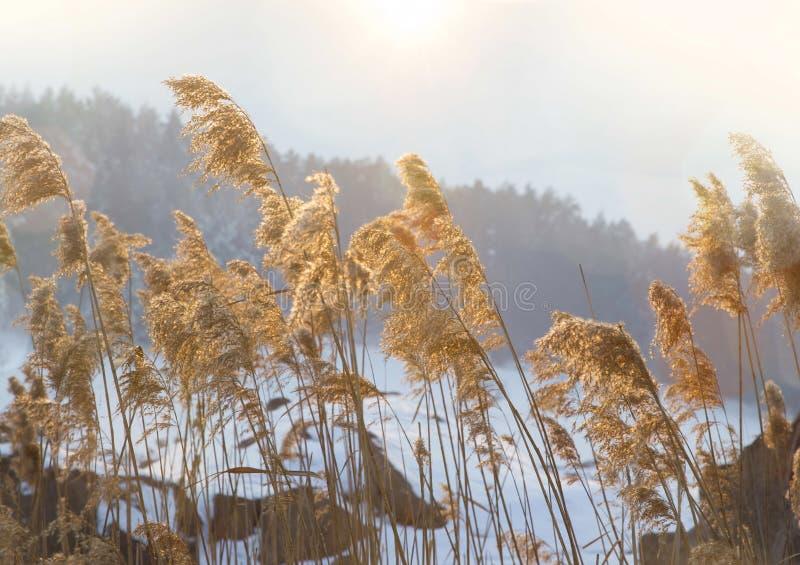 Torkad ängblomning i vintersäsong fotografering för bildbyråer