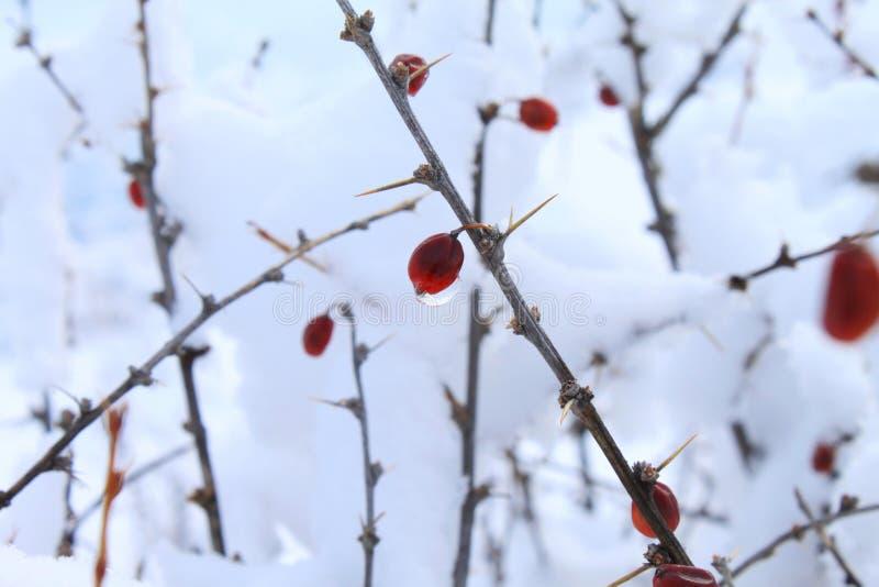 Torkad bärSiberianbarberry royaltyfria bilder