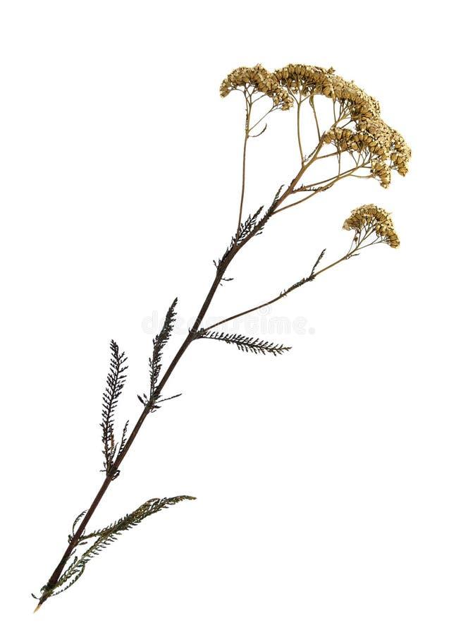 Torkad blomma av gemensam yarrow arkivbilder