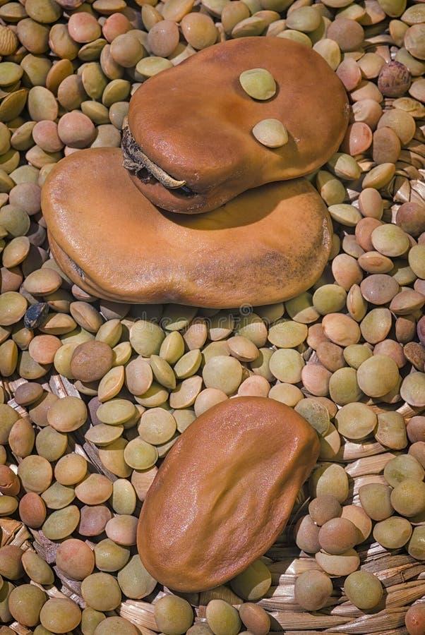 Torkad bondbönaViciafaba var ha som huvudämne och bryna linser Len royaltyfria foton