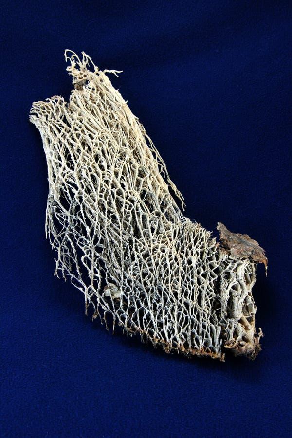 torkad filialkaktuscellulosa royaltyfri foto