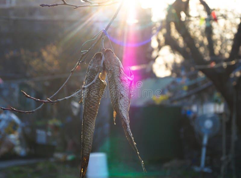 Torkad fisk som hänger på trädet i solen arkivfoton