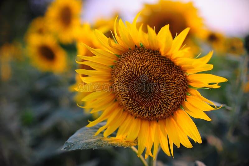torkad gul blomma av en solros royaltyfria bilder