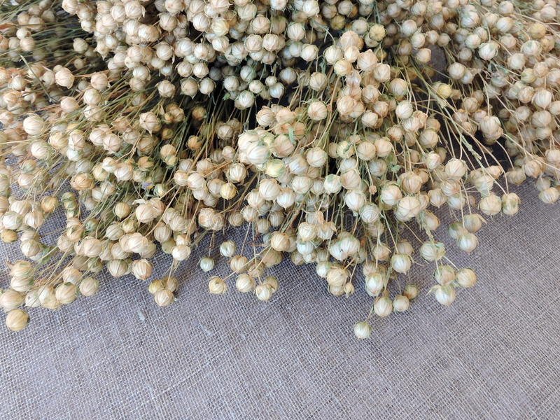 Torkad linväxtmodell arkivbild