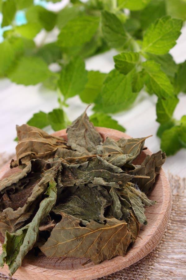 Torkad och ny citronbalsam med skeden på den vita trätabellen, herbalism royaltyfri foto